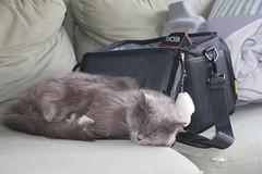 Wanda Improvising (Sleeping NEXT to the Camera Bag) (cseeman) Tags: wanda cats pets couch sofa camera camerabag ruggard ruggardnavigator65 bh catsandbags cameras photographers