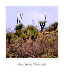 Grass Trees (Tartan Ranga) Tags: landscape grass trees tree australian