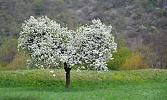 Cuore d'albero (♥danars♥) Tags: albero cuore fiori primavera viaggiando