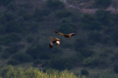 Blue Korhaan, Bornmansdrift, Clocolan, Freestate, Dec 2017 (roelofvdb) Tags: 2016 234 bluekorhaan clocolan date december dwesa16 korhaan korhaanblue place southernafricanbirds year
