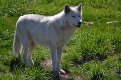 Wolf (warmheartcold) Tags: fauna detroitzoo 2017 michigan