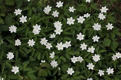Firmamento (lincerosso) Tags: fiori flowers anemonetrofogliata anemonetrifolia primavera fioriture sottobosco colorebianco firmamento collina ragogna friuliveneziagiulia bellezza armonia