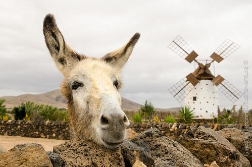 A Happy Donkey in Fuerteventura, Canarias
