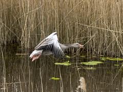 Wilde Gans (gijs leusink1) Tags: ganzen wildeganzen nikond7200 sigma150600sport gijsleusink giethoorn natuur natuurfotografie nikonnaturephotograhpy watervogels