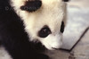 ZOO0021 (Akira Uchiyama) Tags: 動物たちのいろいろ 目 目ジャイアントパンダ