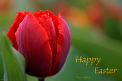 Happy Easter :-) (eleni m (busy remodeling house and garden)) Tags: tulip flower outdoor bulbflower bulb happyeaster easter pasen dof red green purple ocher oker parrot parkietpapegaai fringes franjes wishes macro
