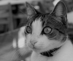 Pleeease (louise peters) Tags: catseye kattenoog oog eye cat poes kat monochrome zwartwit blackwhite portrait portret closeup