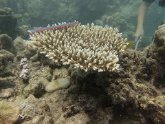 GCMP_sample_photo_4905 (r.mcminds) Tags: acroporacytherea hexacorallian acropora saudiarabia complex e176acrcyth120150516 metazoan scleractinian kaust cnidaria gcmp vi abushosha anthozoan gcmpsample acroporidae animal cnidarian globalcoralmicrobiomeproject hardcoral kingabdullahuniversityofscienceandtechnology stonycoral thuwal makkahprovince sa
