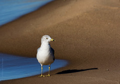 Ring-billed Gull (Larus delawarensis), Douglas, MI