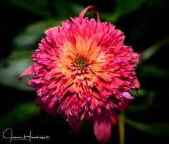 Spring Explosion (jhambright52) Tags: macroflower macro springcolourexplosion echinacea echinaceahotpapaya purplecornflower secretaffair cornflower doublefantasy