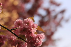 Pink Blossom (Pascal Volk) Tags: closeup nahaufnahme natur nature naturaleza pflanze plant planta blume flower flor blüte blossom bloom floral flowerpower spring frühling primavera canoneos6d sigma50mmf14dghsm|art 50mmf14 50mmlens unpointquatre onepointfour niftyfifty 50mm bokeh dof depthoffield baum tree