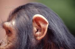 ZOO0076 (Akira Uchiyama) Tags: 動物たちのいろいろ 耳 耳チンパンジー