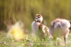 Is Easter Over???...... (law_keven) Tags: gosling egyptiangosling birds bird animals parks parklife regentspark london england uk photography wildlifephotography avian royalparks geese goose