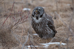 GULP (NicoleW0000) Tags: great gray owl wild wildlife photography ontario outdoors