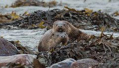 Mummies boy! Otters on Mull (Gowild@freeuk.com) Tags: otter otters lutralutra cub mother family mammal sea loch water animal nature wild wildlife mustelid hug contact affection coast isleofmull scotland scottish andrewmarshall nikon d800e 500mm lens