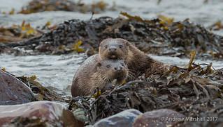 Mummies boy! Otters on Mull
