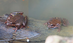 Spawn disambiguation skrzek Laih-Amphibien (arjuna_zbycho) Tags: żaba frosch frog skrzek laihamphibien spawn disambiguation
