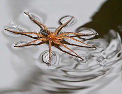 Kärrspindel copy (ove ferling) Tags: spider surface tension water nature reflections