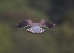 Kestrel_5175 (Peter Warne-Epping Forest) Tags: falcotinnunculus kestrel coppedhall essex uk peterwarne eppingforest raptor birdofprey