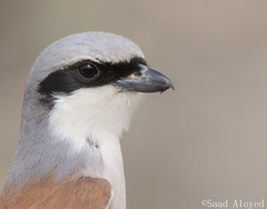 Red-backed shrike الصرد أحمرالظهر (سعد العييد saad) Tags: shrike canon7d2 tamron150600 arabia migration