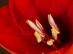 Amaryllis Red Lion Top View Macro (Will.Mak) Tags: willmak olympus em1markii olympus50mmlens amaryllisredlion amaryllis red 50mmf20 50mm f20