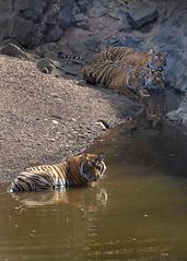 TIG172157GBw (giles.breton) Tags: andyrouse ranthambhorenationalpark india dickysingh