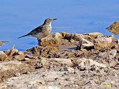 Bisbita alpino (Anthus spinoletta) (6) (eb3alfmiguel) Tags: aves pajáros insectívoros passeriformes motacillidae bisbita alpino