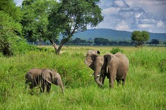 elephants (Cybergabi) Tags: tanzania africa mikuminationalpark safari vacation 2016 animals elephants wildlife game