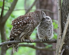 Barred Owls (Mary Sonis) Tags: