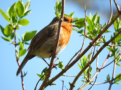 Singing a happy song! (macfudge1UK) Tags: ©allrightsreserved 2017 avian bbcspringwatch bird branch britain britishbird britishbirds bush coolpix coolpixp610 england erithacusrubecula fauna gb greatbritain leaves nature nikon nikoncoolpixp610 oxfordshire oxon p610 perch perching robin rspbgreenstatus singing sky spring uk wildlife