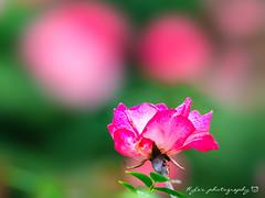 Rose (紅襪熊) Tags: olympus omd em1 m43 micro43 microfourthirds olympusem1 sigma 150mm macro bokeh sigma150mmmacro apo f28 sigmaapomacro150mmf28 sigmamacro150mmf28 150mmf28 sigma150mmf28 rose 玫瑰 薔薇