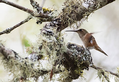 1704_EOS7DMKII-04-162016_01438-Edit-Edit (Peter Bangayan) Tags: hummingbirds smallbirds bird canon eos7d eos7dmkii ef500mmf4lisusm wildlife wild nature nisquallywildliferefuge