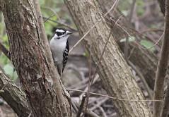 Downy Woodpecker (gmorient1@aol.com) Tags: birds centralpark newyork springmigration