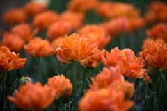 Tulipes (hervekaracha) Tags: fleur flower nikon d610 profondeurdechamp nikonflickraward depthoffield tulipe