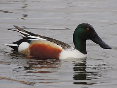 Northern Shoveler (Two Cats Productions) Tags: