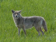 Coyote - Pitt Meadows, BC (Michael W Klotz - The Bird Blogger.com) Tags: coyote k9 pittmeadows field bc britishcolumbia canada grass green brown wet dog hunt canis latrans