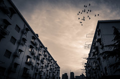 (Rob-Shanghai) Tags: shanghai apartments life living china birds flight sony rx10m2 mono