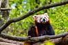 Ailurus fulgens (Jakub Skořepa) Tags: red panda wildlife animal animals wild mammal nikon d3200 nikond3200 nikkorlens outdoor forest woods 200mm 200mmf4 200mmnikkor 200mmlens lens prime primelens