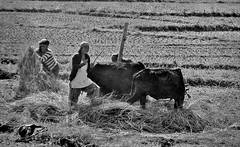 NEPAL, Auf dem Weg nach Pokhara, Bauern bei der Ernte (serie ) , 16047/8306 (roba66) Tags: reisen travel explore voyages roba66 visit urlaub nepal asien asia südasien pokhara landschaft landscape paisaje nature natur naturalezza tier tiere animal animals creature farmer bauern landwirte ernte fields felder nepalesen cultur menschen people landwirtschaft