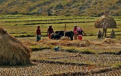 NEPAL, Auf dem Weg nach Pokhara, Bauern bei der Ernte (serie ) , 16045/8312 (roba66) Tags: reisen travel explore voyages roba66 visit urlaub nepal asien asia südasien pokhara landschaft landscape paisaje nature natur naturalezza tier tiere animal animals creature farmer bauern landwirte ernte fields felder nepalesen cultur menschen people landwirtschaft