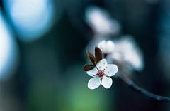 Last of the blossoms season (-Alberto_) Tags: nikonn90 nature macro bokeh 35mm film california blossoms