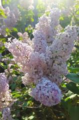 (Iggy Y) Tags: syringa vulgaris spring blossom flowers pink flower green leaves jorgovan lilac day light sunny flare tree plant nature