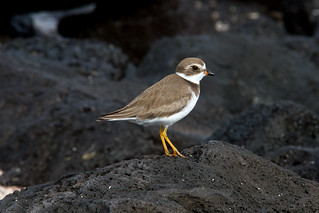 Semipalmated Plover at San Cristobal IMG_7035