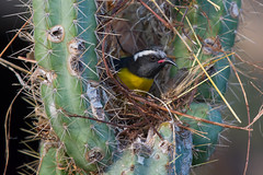 """Natural Defenses"" (Bananaquit) (Jesse_in_CT) Tags: bananaquit nikon200500mm"
