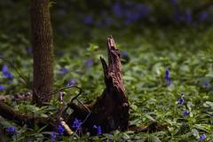 Bluebell Wood (Jonathan Goddard1) Tags: pentax k3ii wood trees logs bluebells flowers nature spring seasons