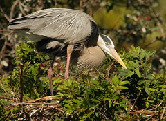 3S5X6940 Early Nest (Eileen Fonferko) Tags: bird animal nesting greatblueheron nature wildlife
