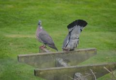 Wood pigeons (frankmh) Tags: bird pigeon woodpigeon hittarp helsingborg skåne sweden outdoor