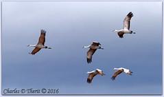 Sandhill Cranes (ctofcsco) Tags: 14x 14xii 1800 1d 1dmark4 1dmarkiv 1div 280mm 45 canon colorado digital ef ef200mmf2lisusm ef200mmf2lisusm14x eos eos1d eos1dmarkiv esplora explore 2017 alamosa birds cranes explored geo:lat=3745997671 geo:lon=10614014486 geotagged image landscape migration montevista montevistanwr nationalwildliferefuge nature northamerica photograph picture sanluisvalley sandhillcrane sandhillcranefestival spring wildlife wwwmvcranefestorg zinzer extender mark4 markiv photo pic pretty renown supertelephoto teleconverter telephoto unitedstates usa
