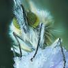 Ice Age (pen3.de) Tags: penf tier insekt falter schmetterling aurorafalter portrait natur wildlife porträt beine haare blume blüte wiesenschaumkraut eiskristalle gefroren nachtlager