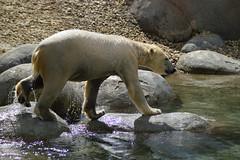 Wildlands Adventure Zoo Emmen (l-vandervegt) Tags: 2017 nederland netherlands holland niederlande paysbas drenthe emmen wildlands adventure zoo dierentuin polar bear beer ijsbeer polarbear